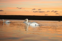Image: Swans on the Fleet Lagoon, a short walk from Bagwell Farm Touring Park